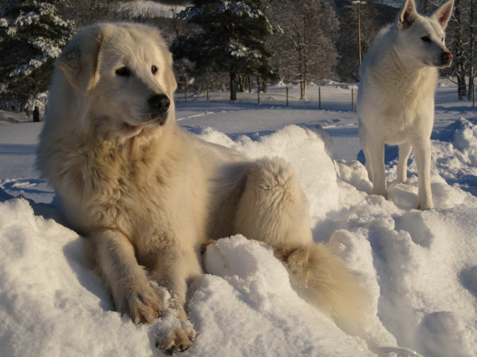 Dogs in the snow wallpaper   ForWallpapercom 1600x1200
