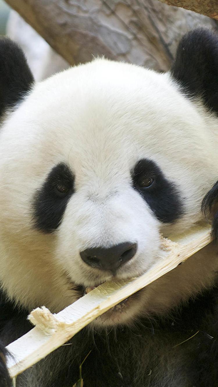 Cute panda eating bamboo iPhone 6 Wallpapers iPhone 6 Wallpapers 750x1334