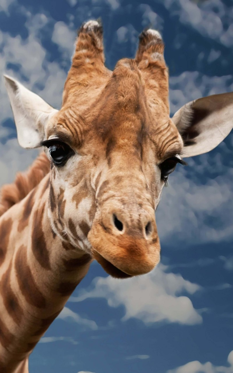 Funny Giraffe HD wallpaper for Kindle Fire HD   HDwallpapersnet 800x1280