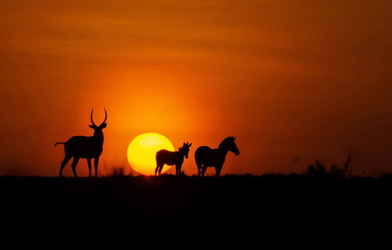Wallpaper fireball twilight animals sunset dusk Africa zebra 1332x850