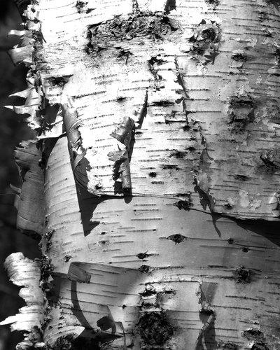 White Birch Bark Wallpaper Birch bark in black and white 400x500
