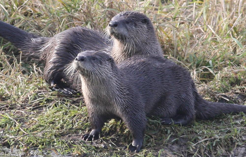 River otters httpridgefieldbirdscomTheRefugeAnimalsridgefield 1000x640