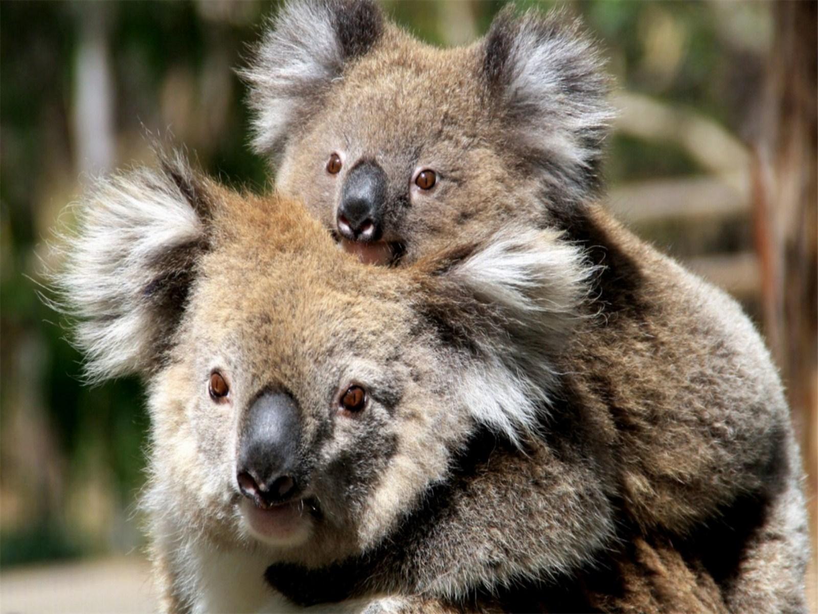 koala bear wallpaper wallpapersafari