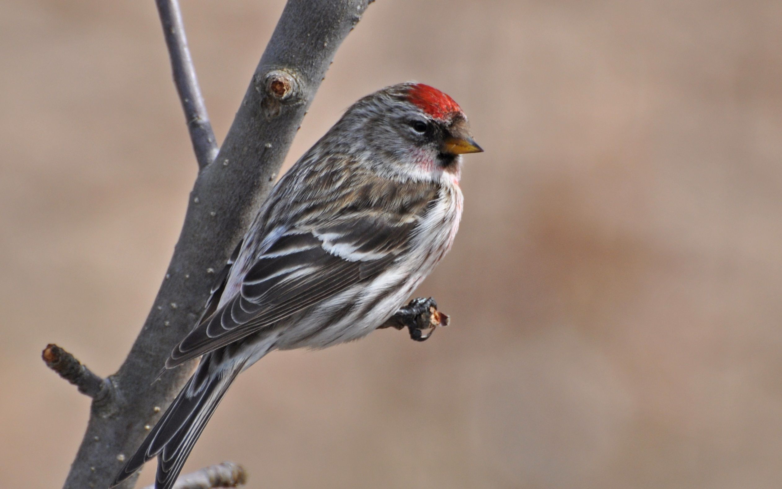 Common Redpoll Wallpapers Backgrounds Common Redpoll 2524x1578