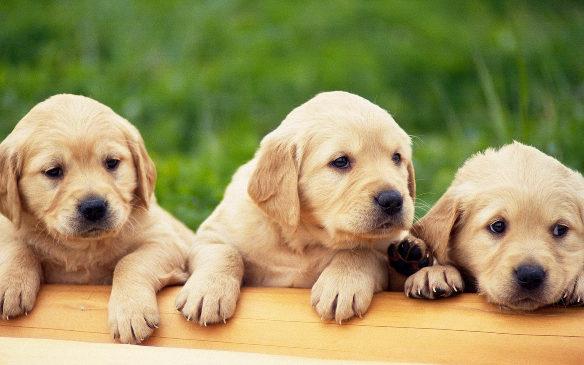 Computer Yellow Labrador Puppies Wallpapers Desktop Backgrounds 1920x1200