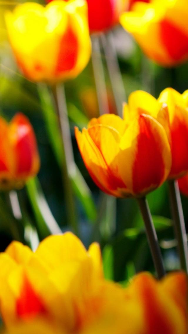 Tulips iPhone 5s Wallpaper Download iPhone Wallpapers iPad 640x1136