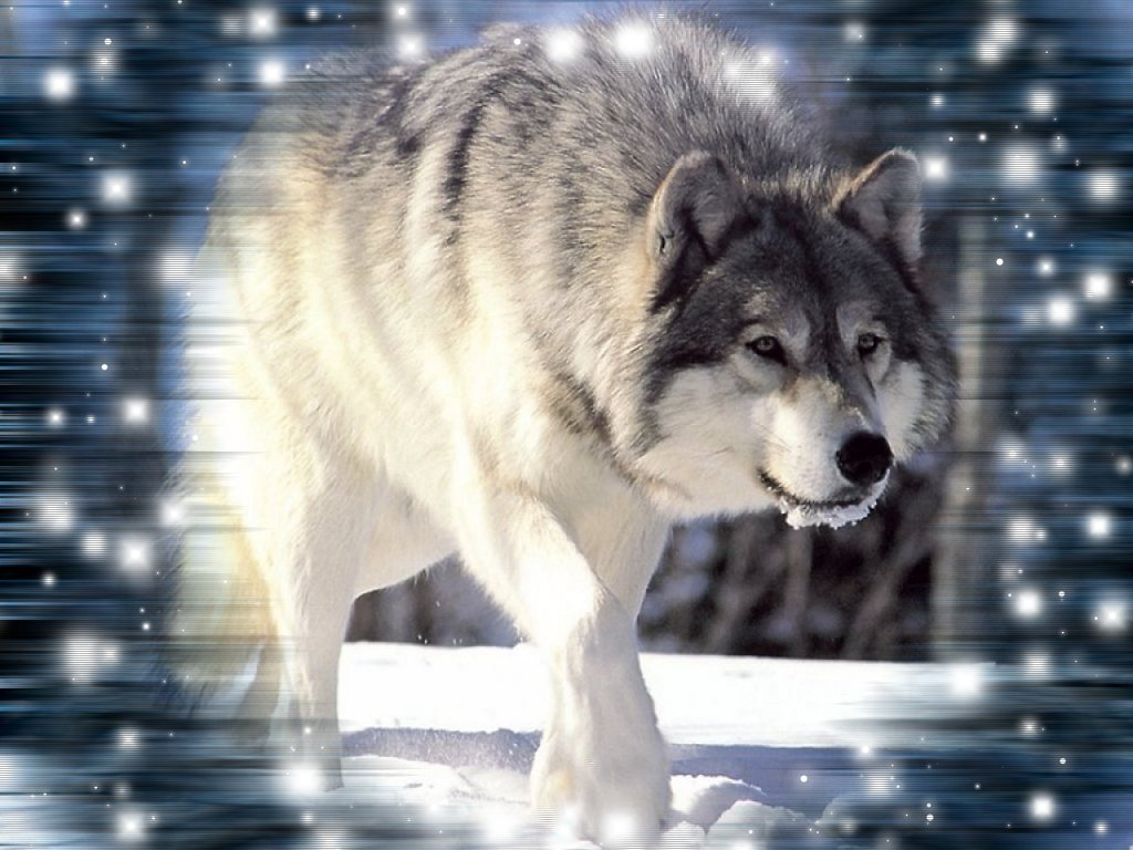 Really Cool Wolf Backgrounds 1024x768
