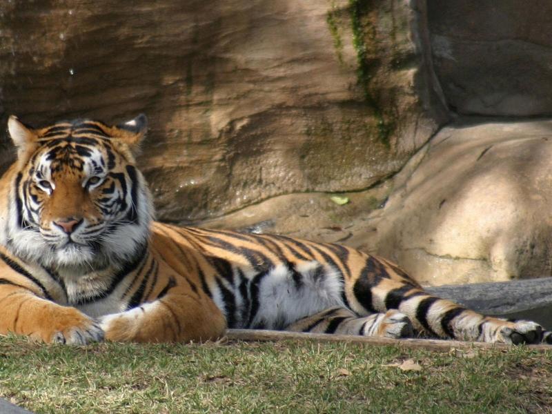 Fondo de pantalla tigre esperando 800x600   Fondo hd 384 800x600