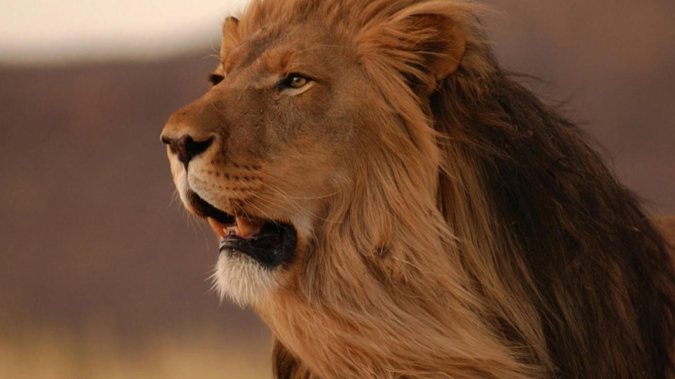 HD GREAT KING LION Wallpapers Screensavers   Ventubecom 1366x768