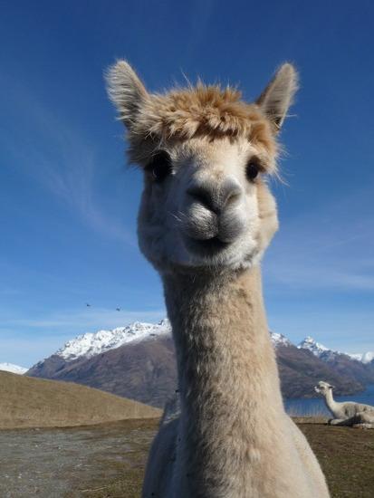 Cutest Llama named Tina by KFame24 413x550