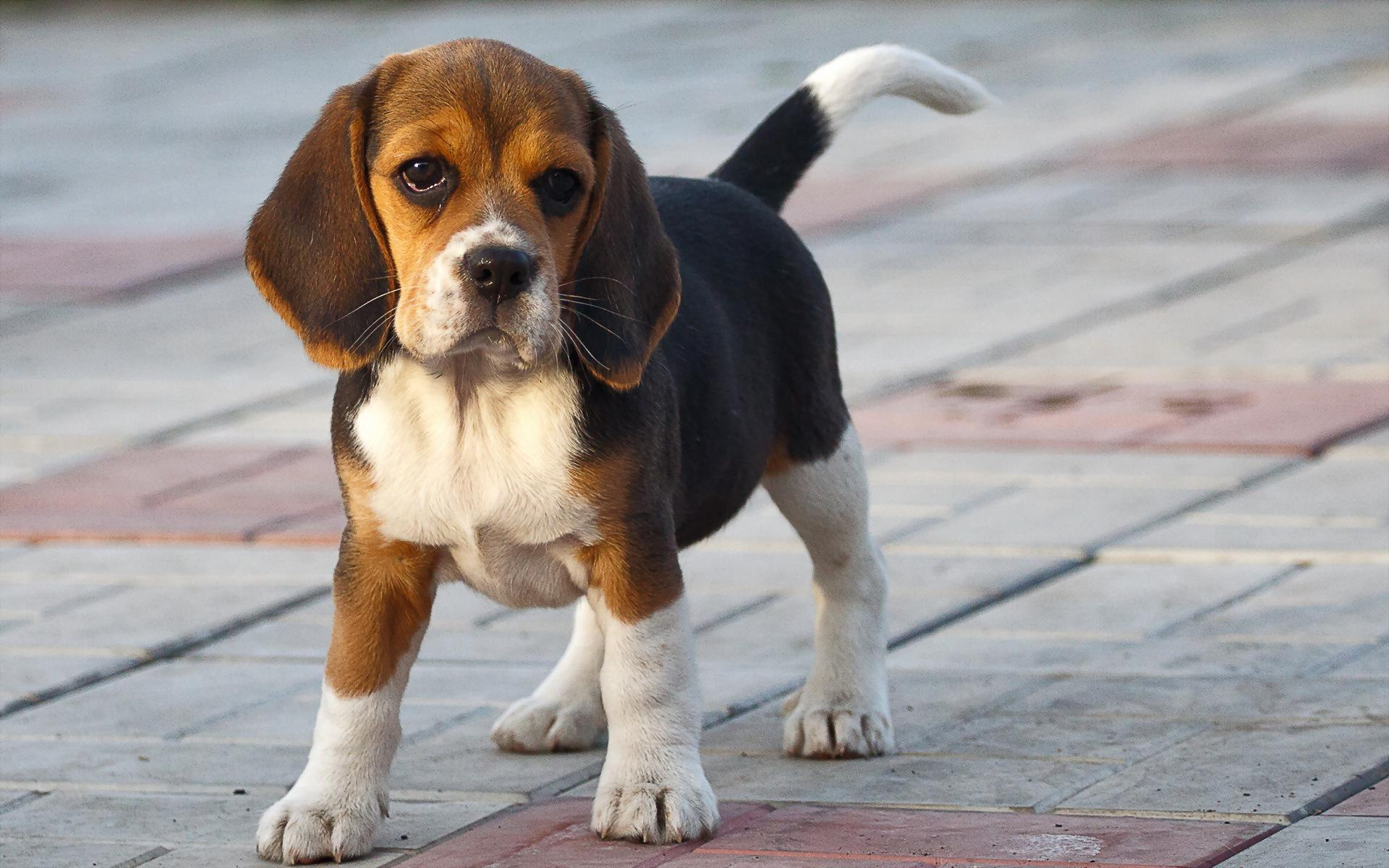 Funny beagle puppy on the sidewalk wallpapers and images   wallpapers 1920x1200