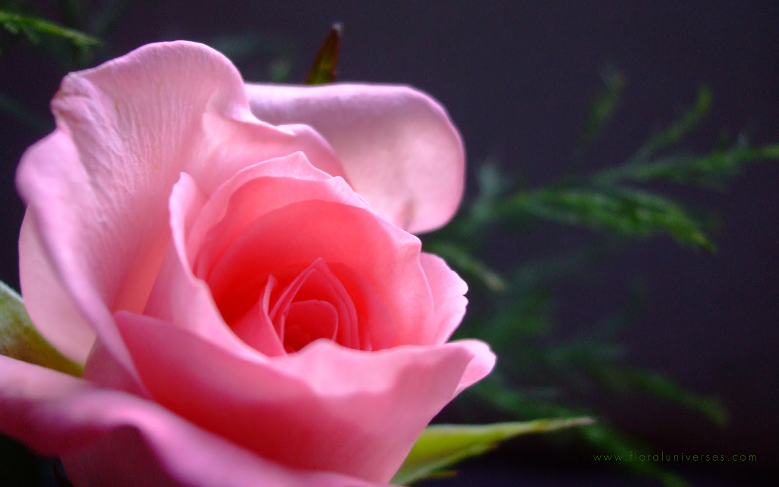 Free desktop wallpaper pink roses wallpapersafari - Pink rose black background wallpaper ...