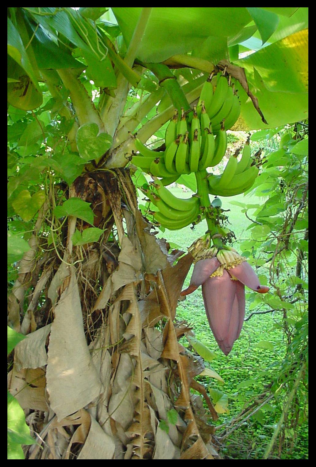 Banana tree and flower Cambridge Beaches Bermuda 1030x1521