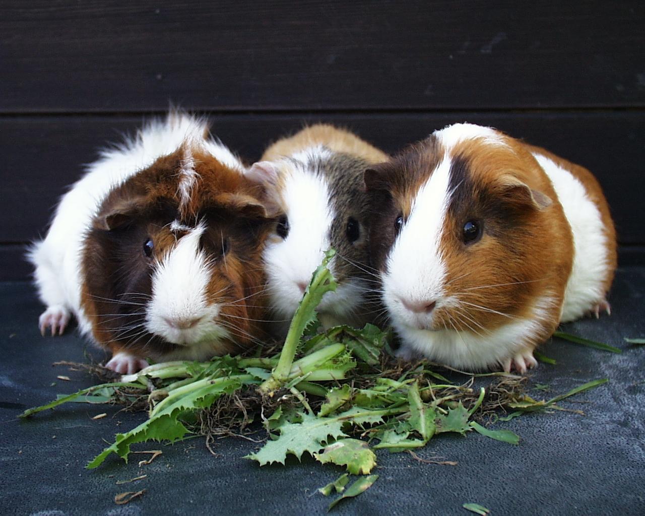Guinea Pigs   Guinea Pigs Wallpaper 15107594 1280x1024