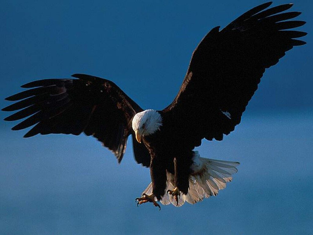 bald eagle is a species of eagle species the most popular bald eagle 1024x768
