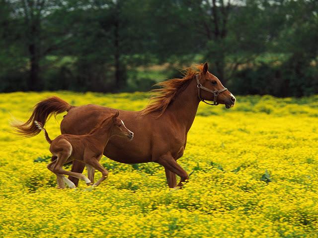 horses wallpaper horse screensavershorse computer wallpaper 640x480