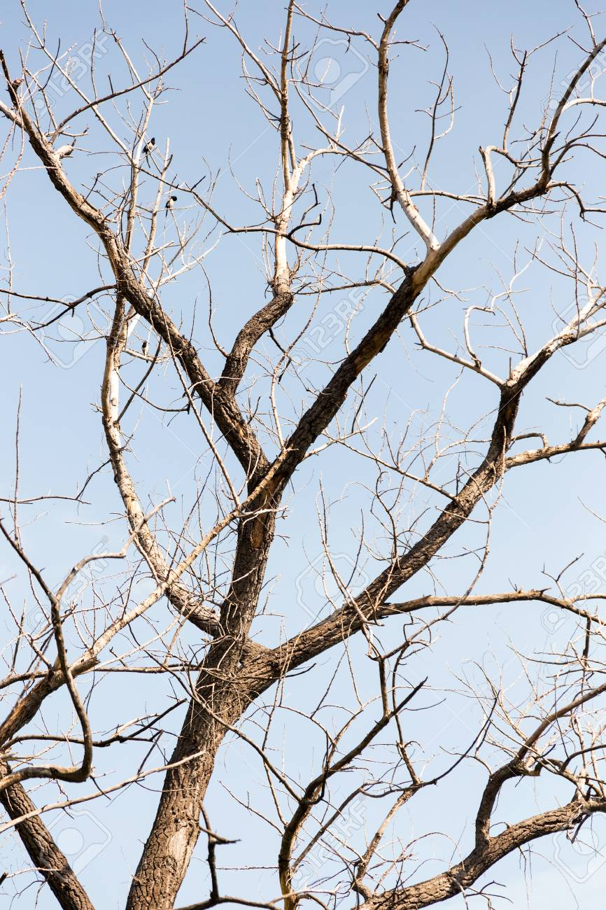 Dry Tree Branches Of Dry Tree On Background Of Blue Sky 866x1300