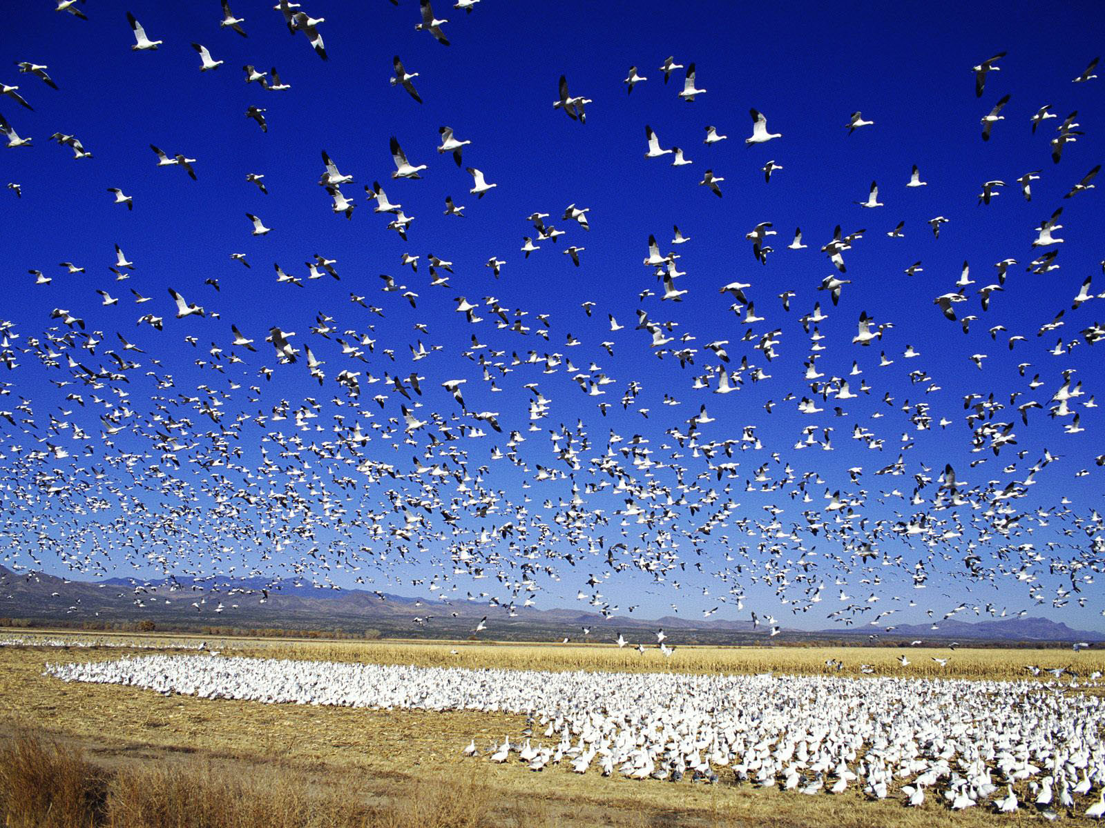 Snow Geese Wallpaper