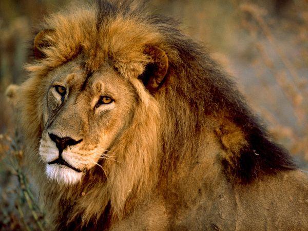lion lion lion lion lion lion 600x450