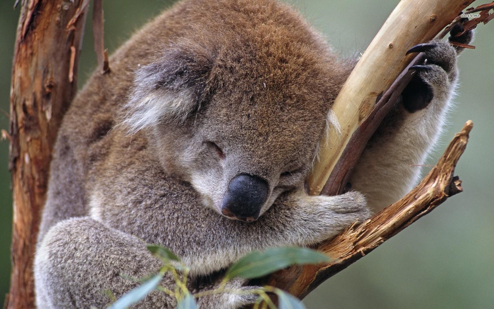 Koala Wallpapers - WallpaperSafari