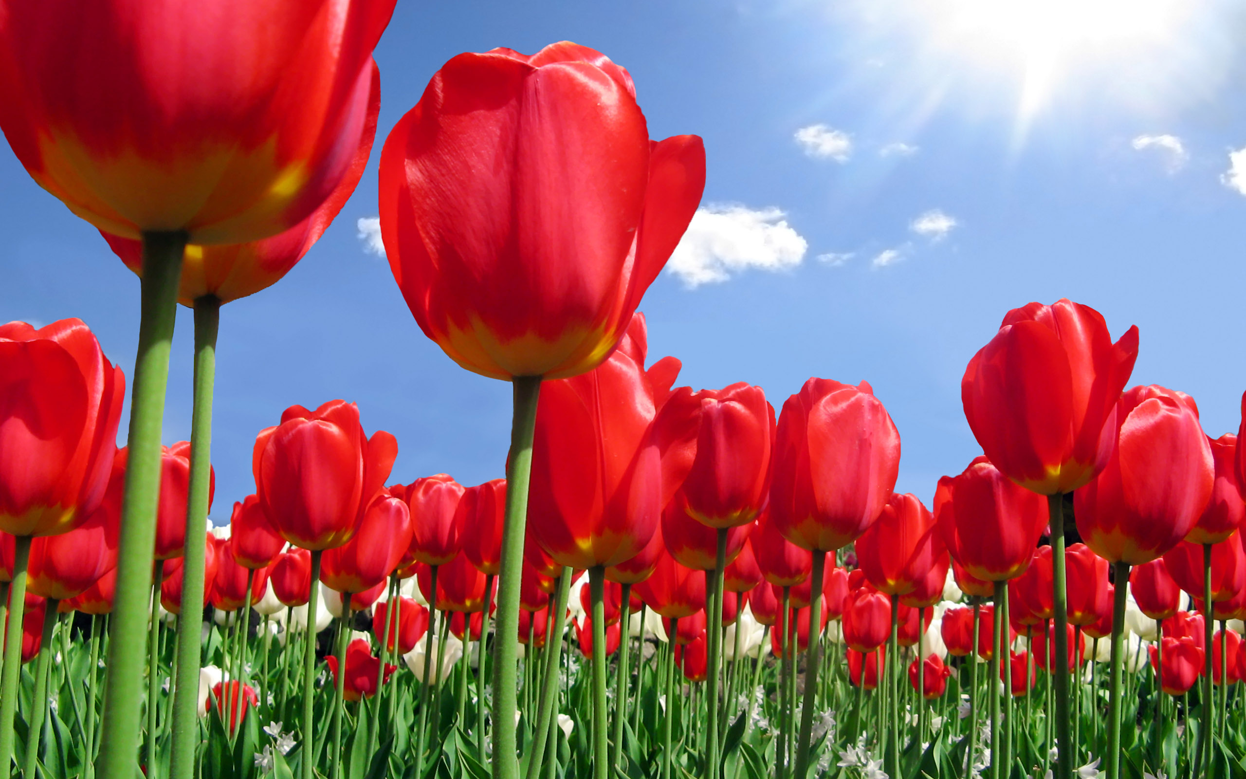 Red Tulip Flower Wallpaper Download for Desktop 2560x1600