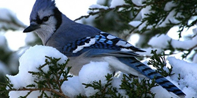 blue jay bird 6114 hd wallpaper backgrounds   Pouted Online Magazine 660x330
