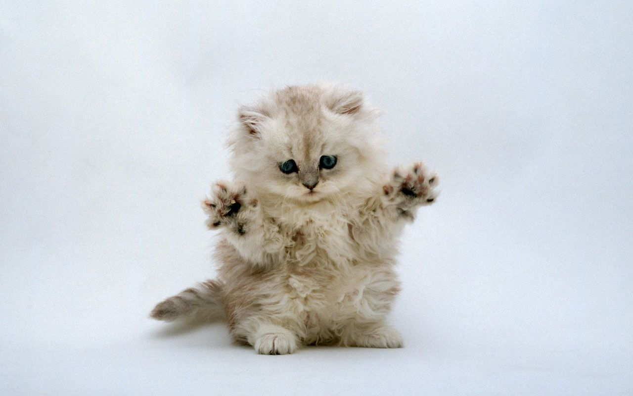 Cute Kitten Wallpaper   Kittens Wallpaper 16094684 1280x800