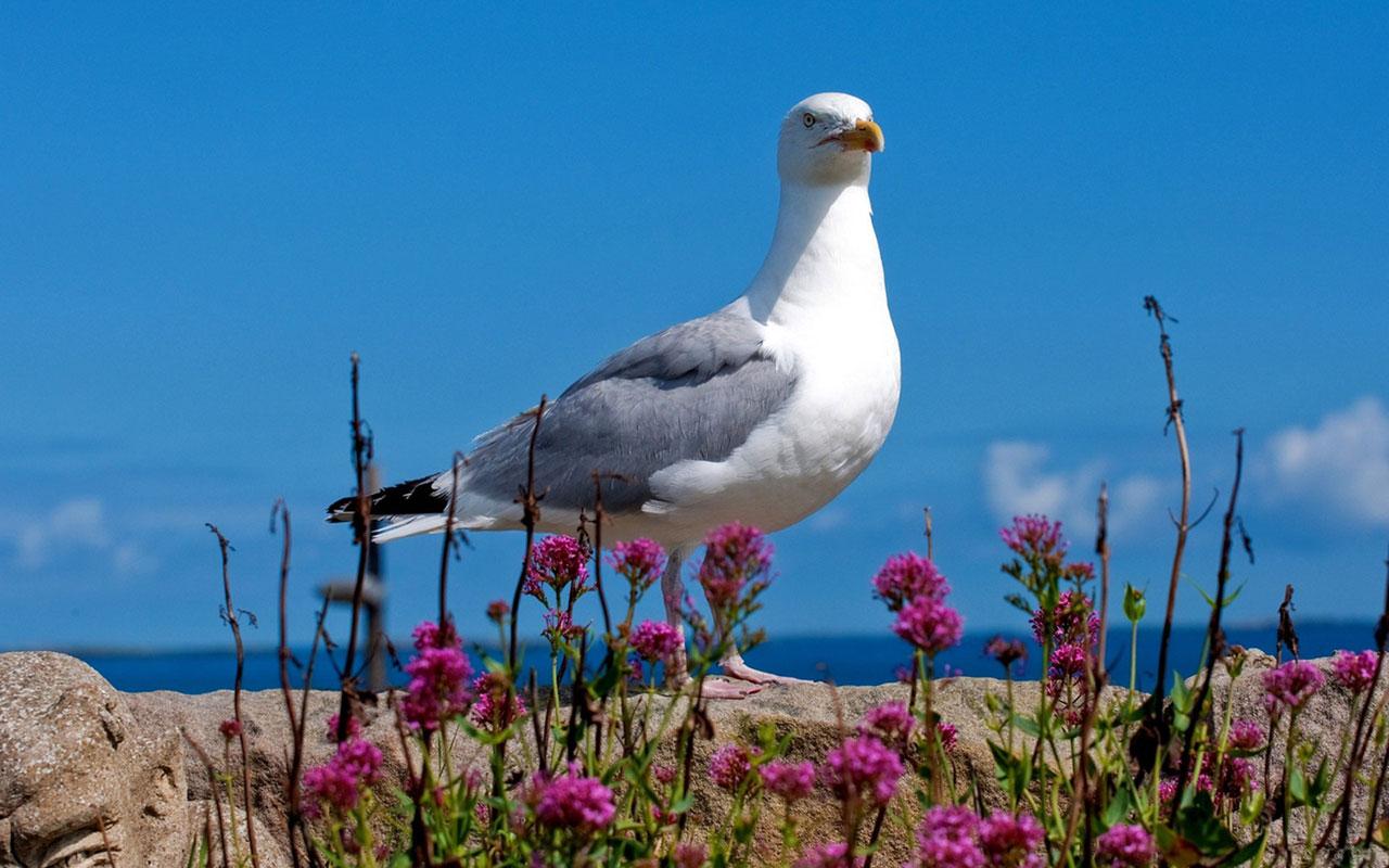 Animal WallpapersFreedom of flying seagulls HD desktop wallpaper 7 1280x800