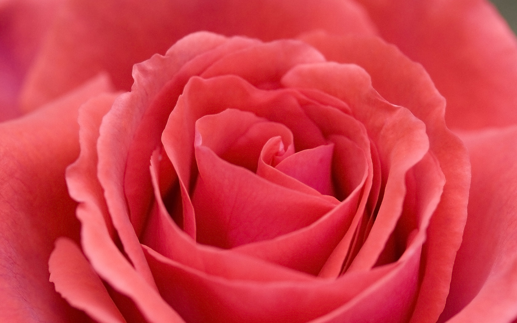 Desktop background of a beautiful large soft red rose bloom 1680x1050