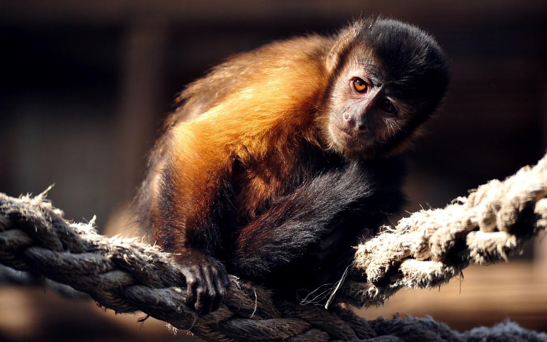 Animals Monkeys Monkey 033372 jpg 1920x1200