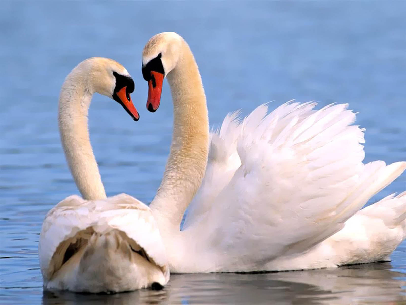 Tag Swan Wallpapers Backgrounds Photos Imagesand Pictures for 1600x1200