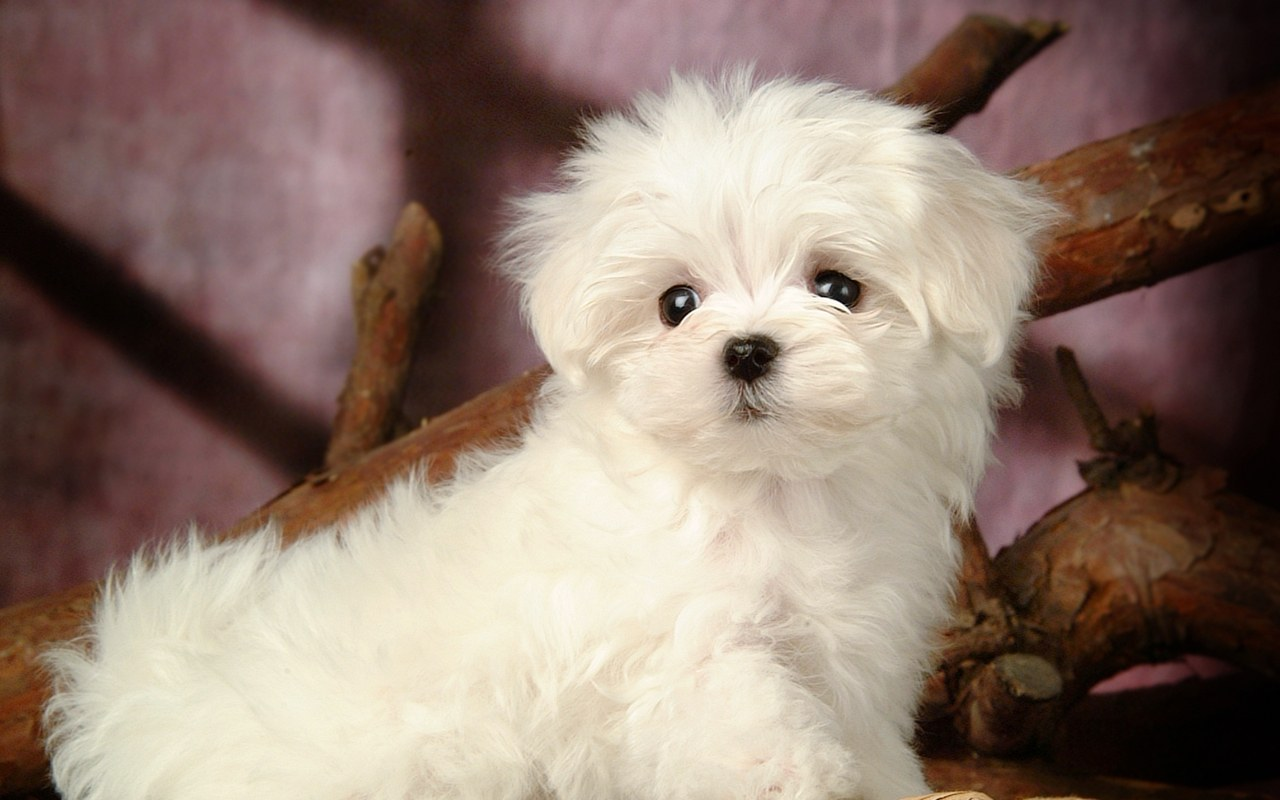 Free Download Puppy Dogs White Maltese Puppies Wallpapers 1280800 No13 Wallpaper 1280x800 For Your Desktop Mobile Tablet Explore 75 White Dog Wallpaper Black And White Dog Wallpaper