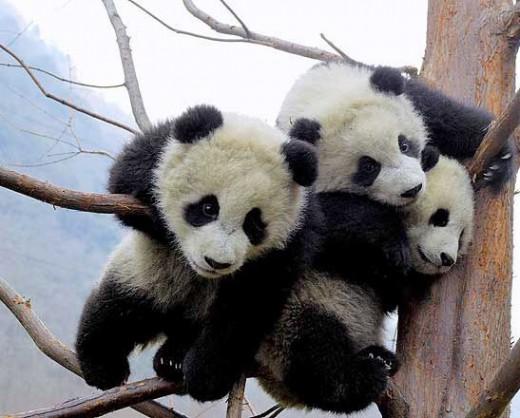 baby panda 520x418