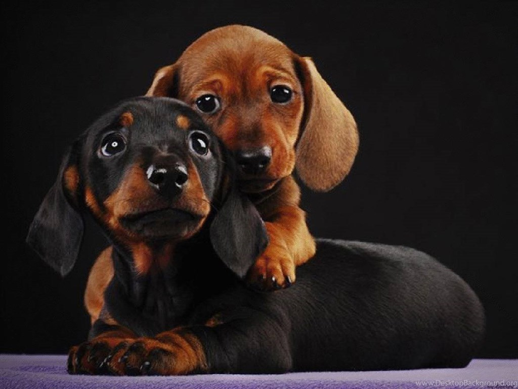 Desktop Weiner Dog Wallpapers 79 images in Collection Page 1 1024x768