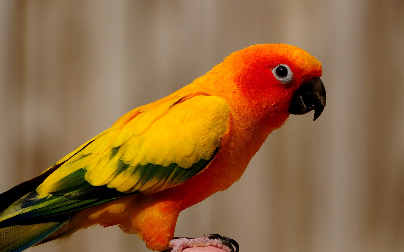 hd parrot wallpaper with a orange yellow parrot background picturejpg 1600x1000