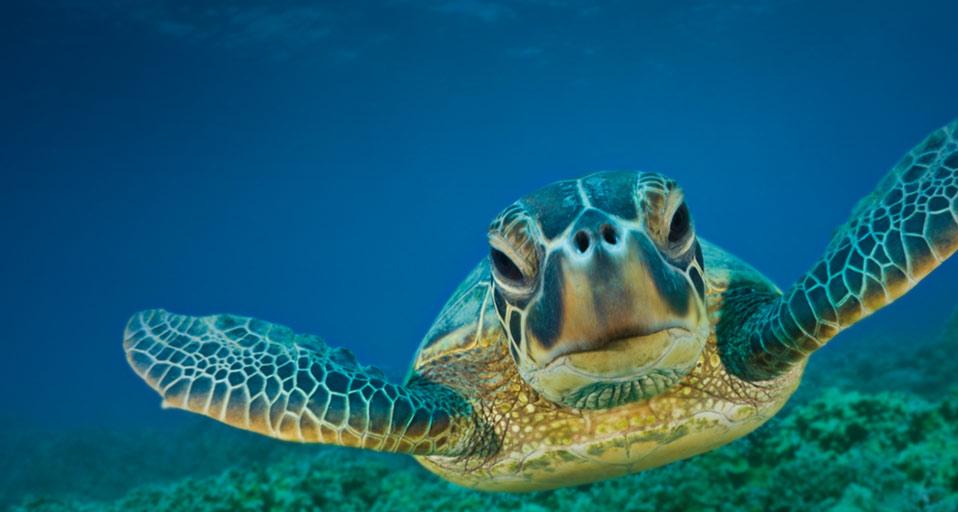 Bing Images   Green Turtle   Reinhard DirscherlVisuals Unlimited Inc 958x512