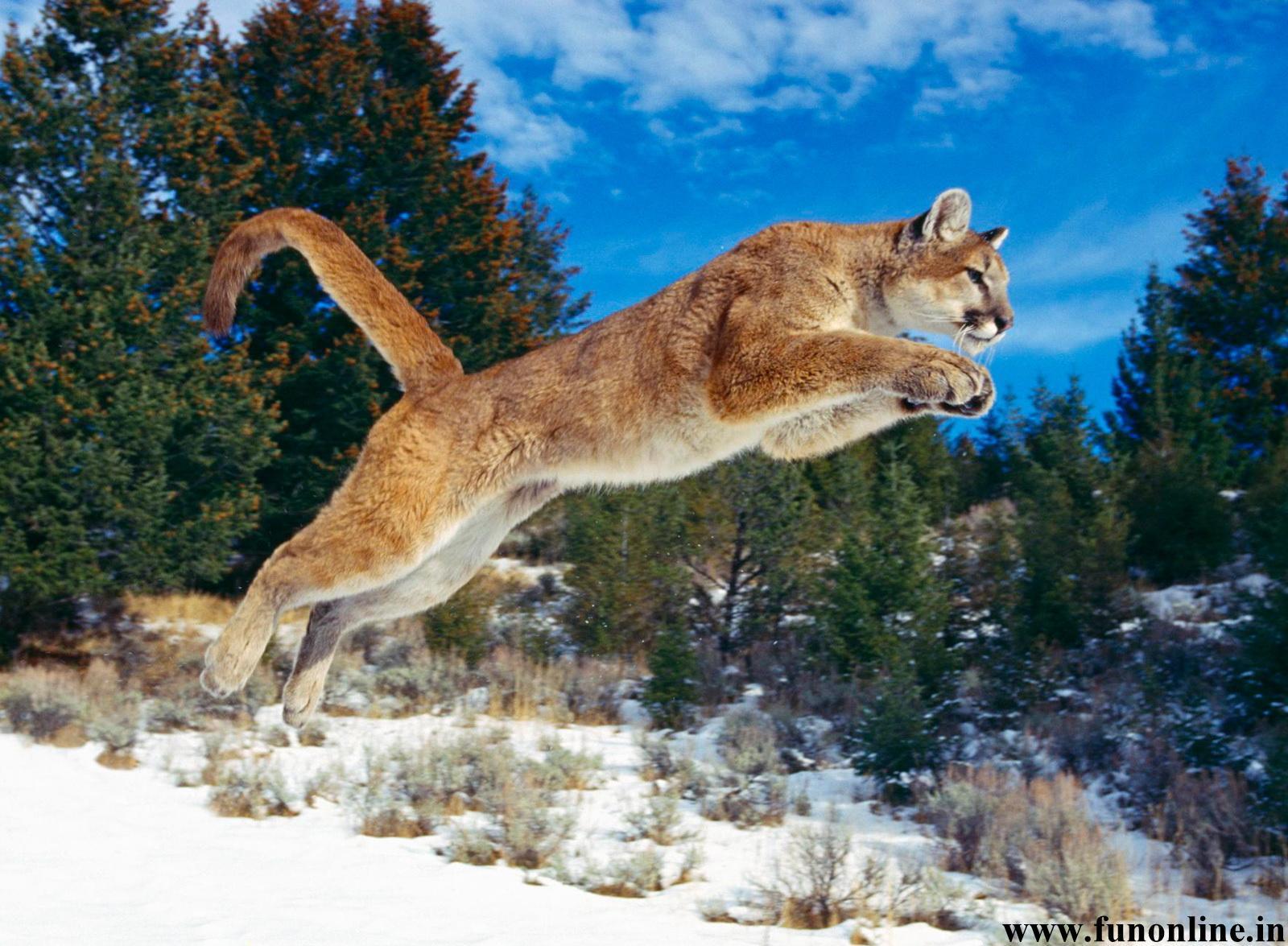 Panther Wallpapers Download Black Panthers HD Wallpaper 1600x1175