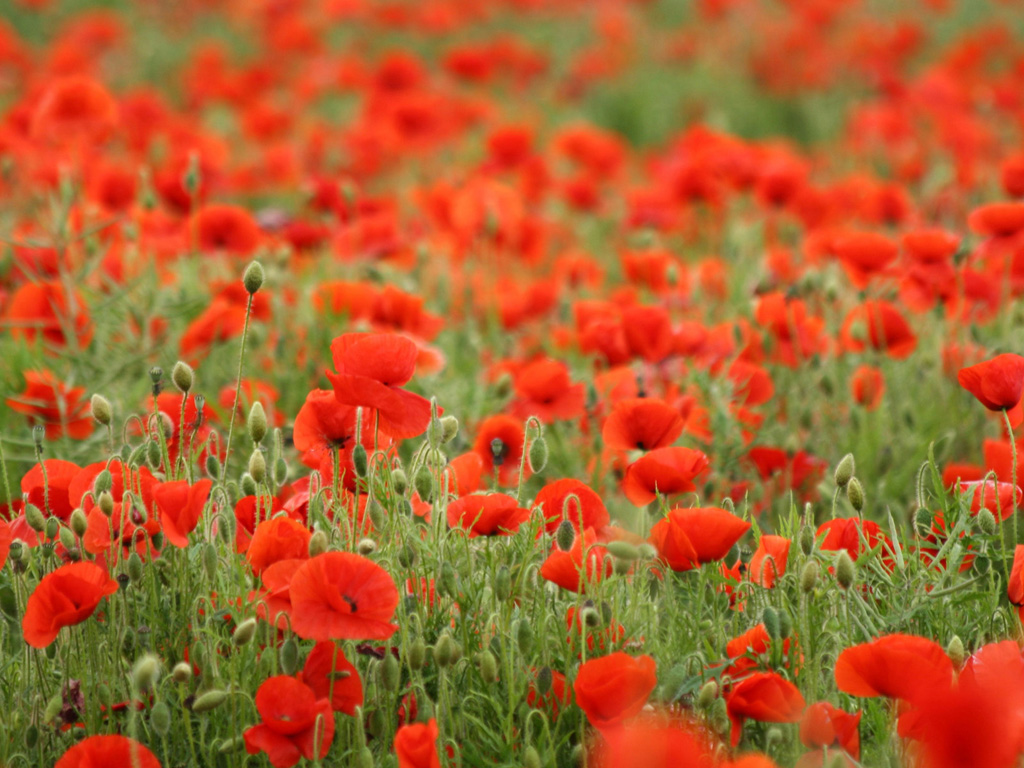 1024x768px Poppy Flower Wallpaper Wallpapersafari