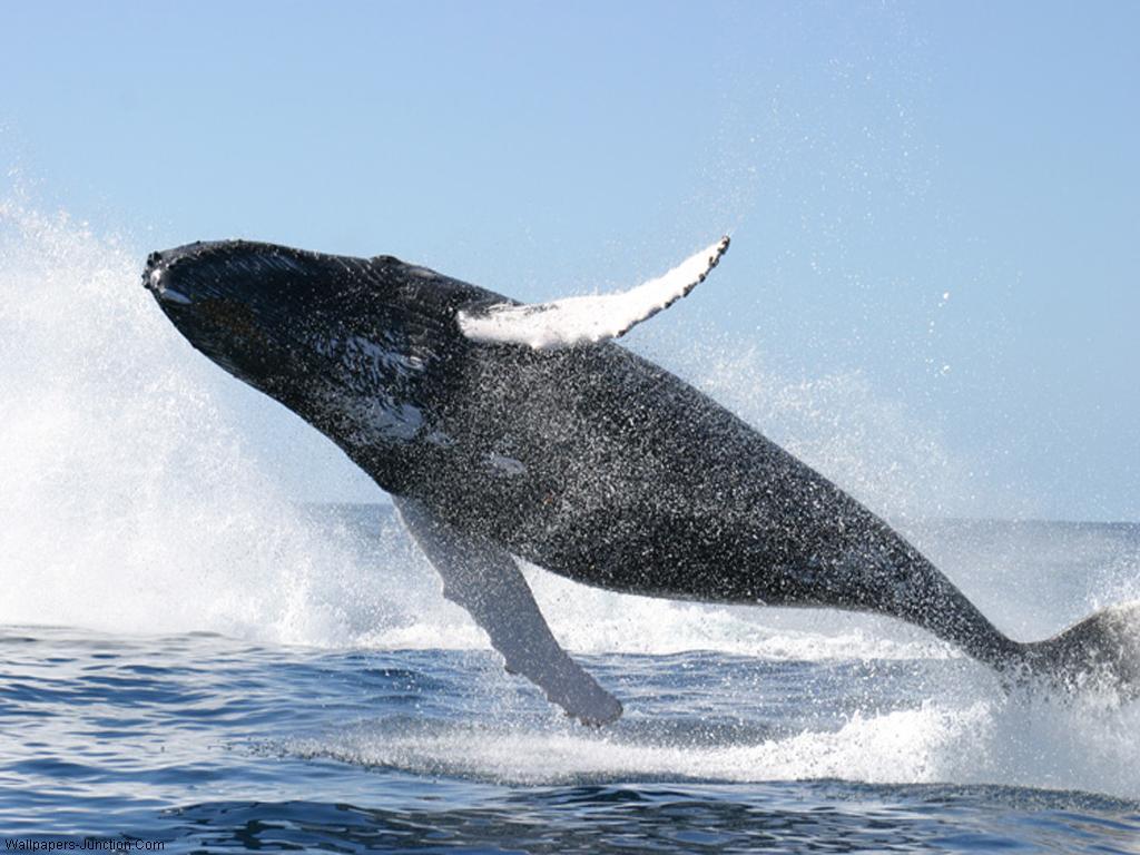 Blue Whale Wallpaperjpg 1024x768