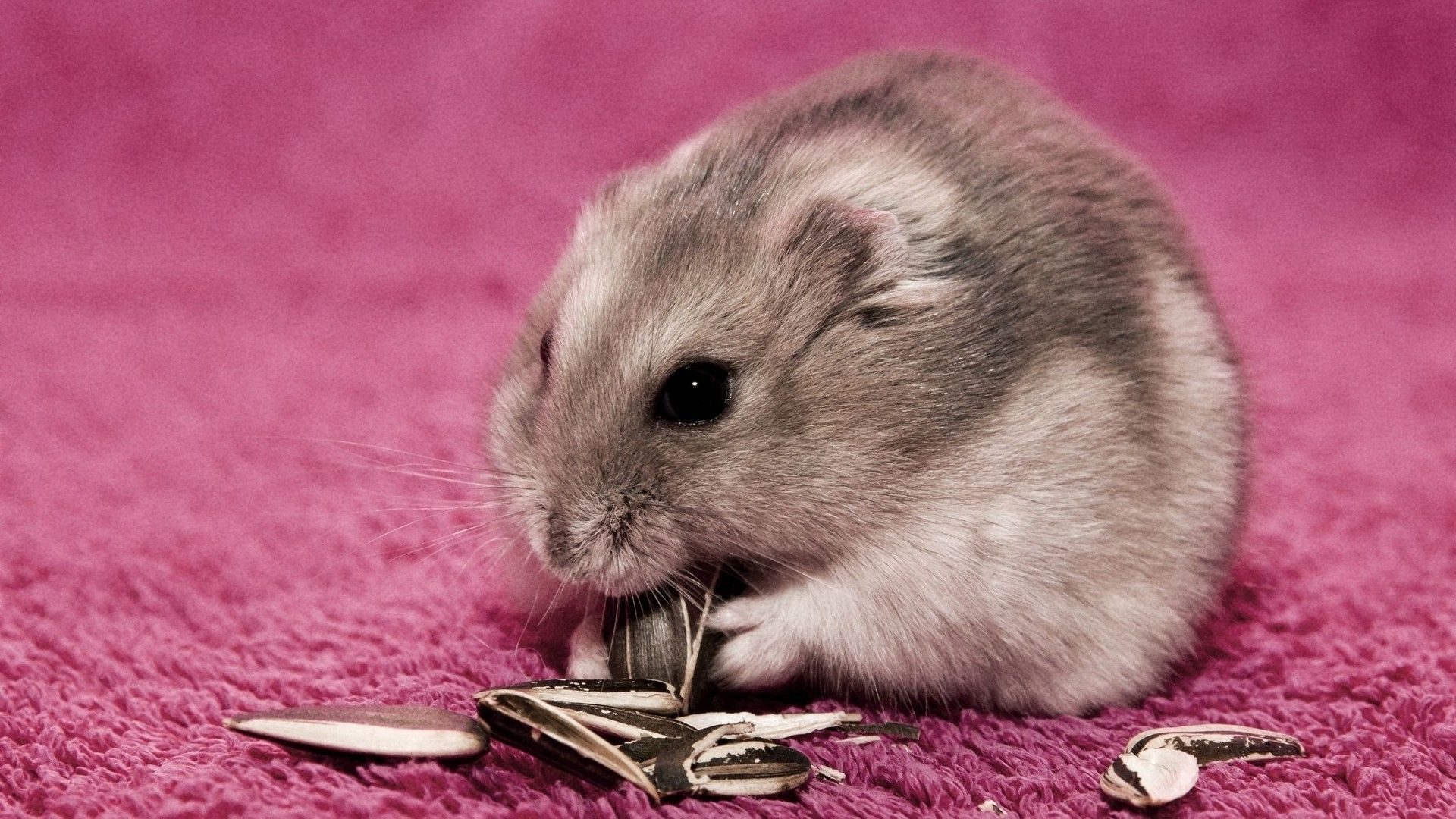 Hamster on a pink carpet wallpaper 15948 1920x1080