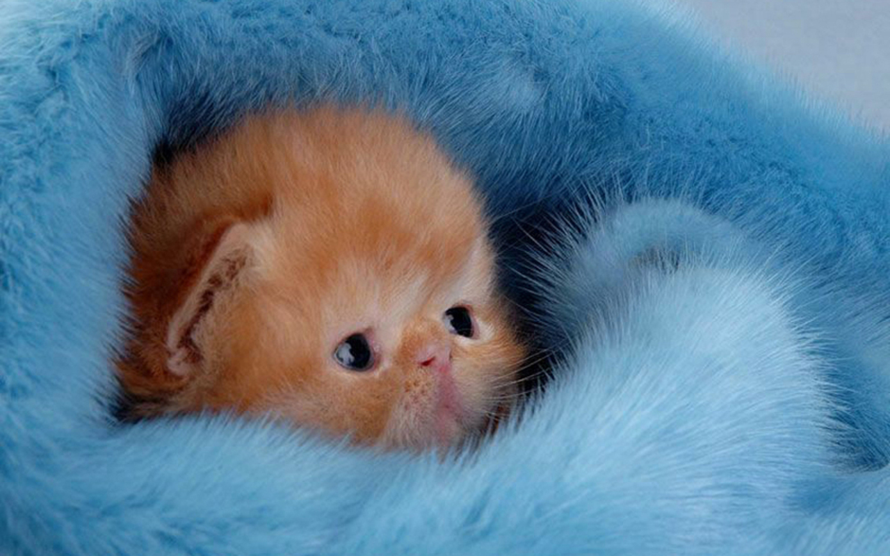 Cute Kitten Wallpaper   Kittens Wallpaper 16094695 1280x800