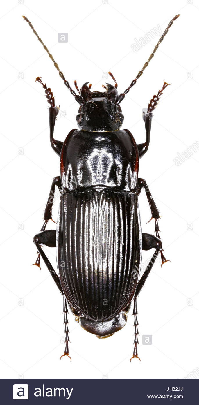 Parallel sided Ground Beetle on white Background   Abax Stock 685x1390