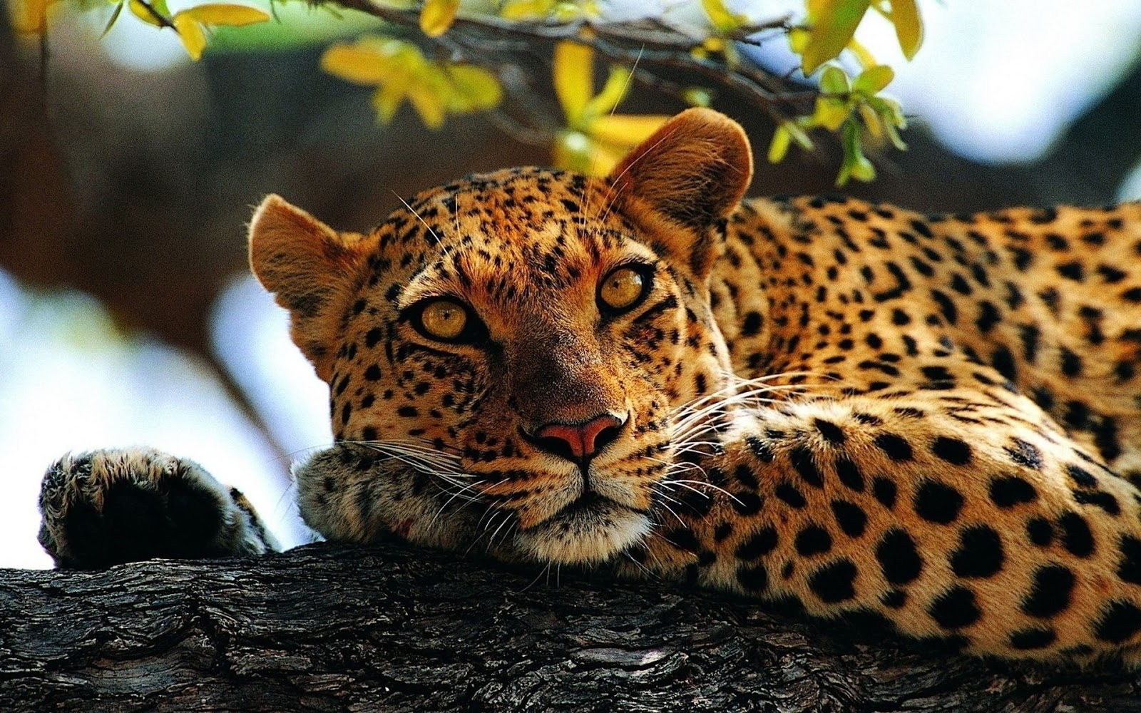 All About Animal Wildlife Cheetah Cool HD Wallpapers 2012 1600x1000