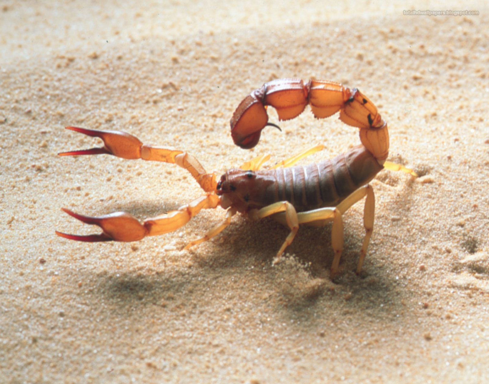 Scorpion wallpapers hd 1600x1257