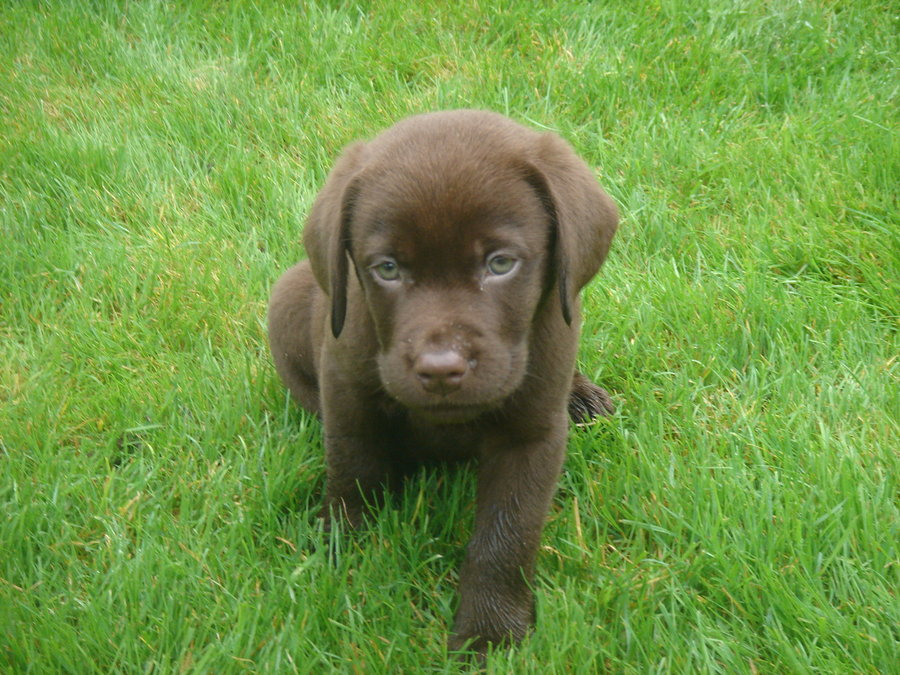 Chocolate Lab Wallpaper Puppy chocolate lab by 900x675
