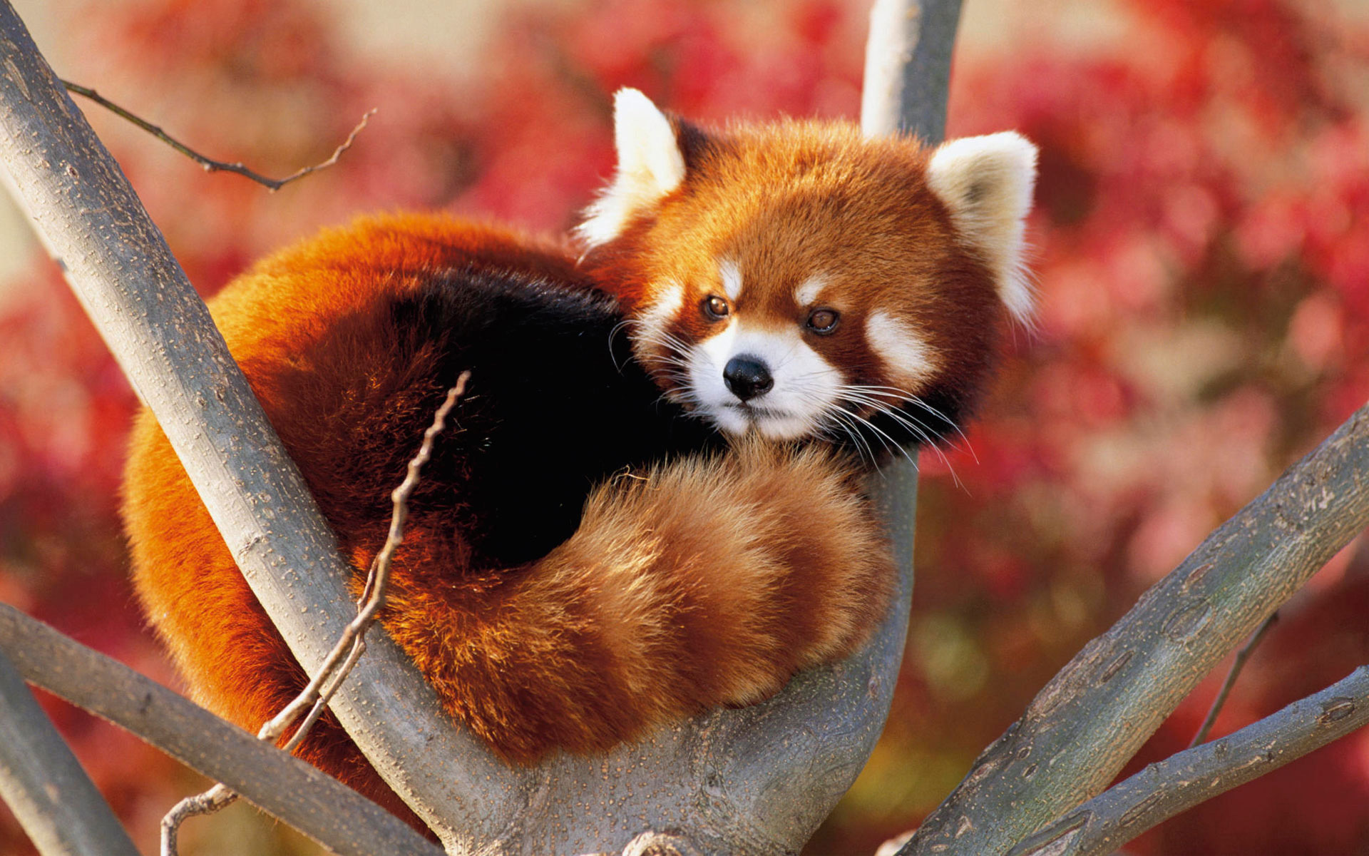 red panda fluffy animal cute Wallpaper Animals Wallpaper Background 1920x1200