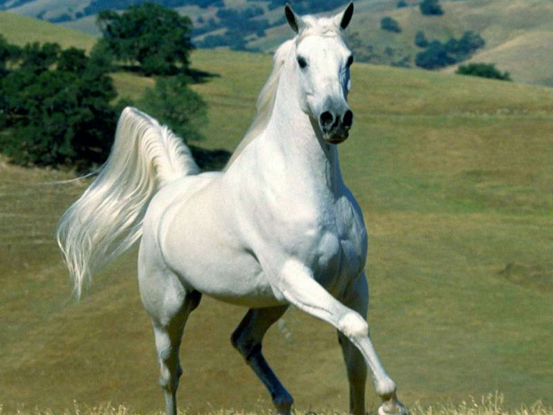 Free Download White Horse Wallpaper Latest White Horse Wallpaper