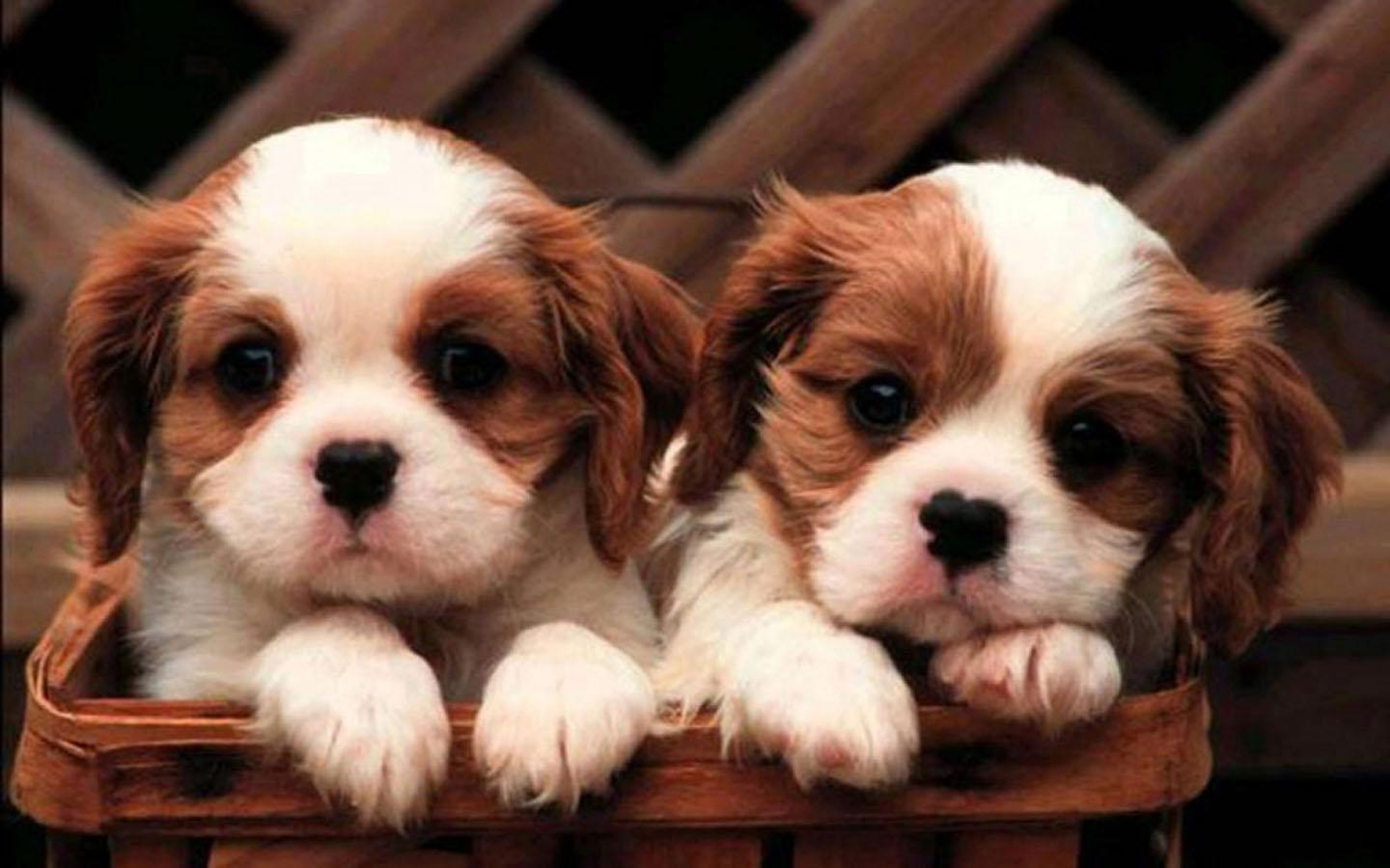 Cute Little Puppy Wallpaper for Android   APK Download 1440x900