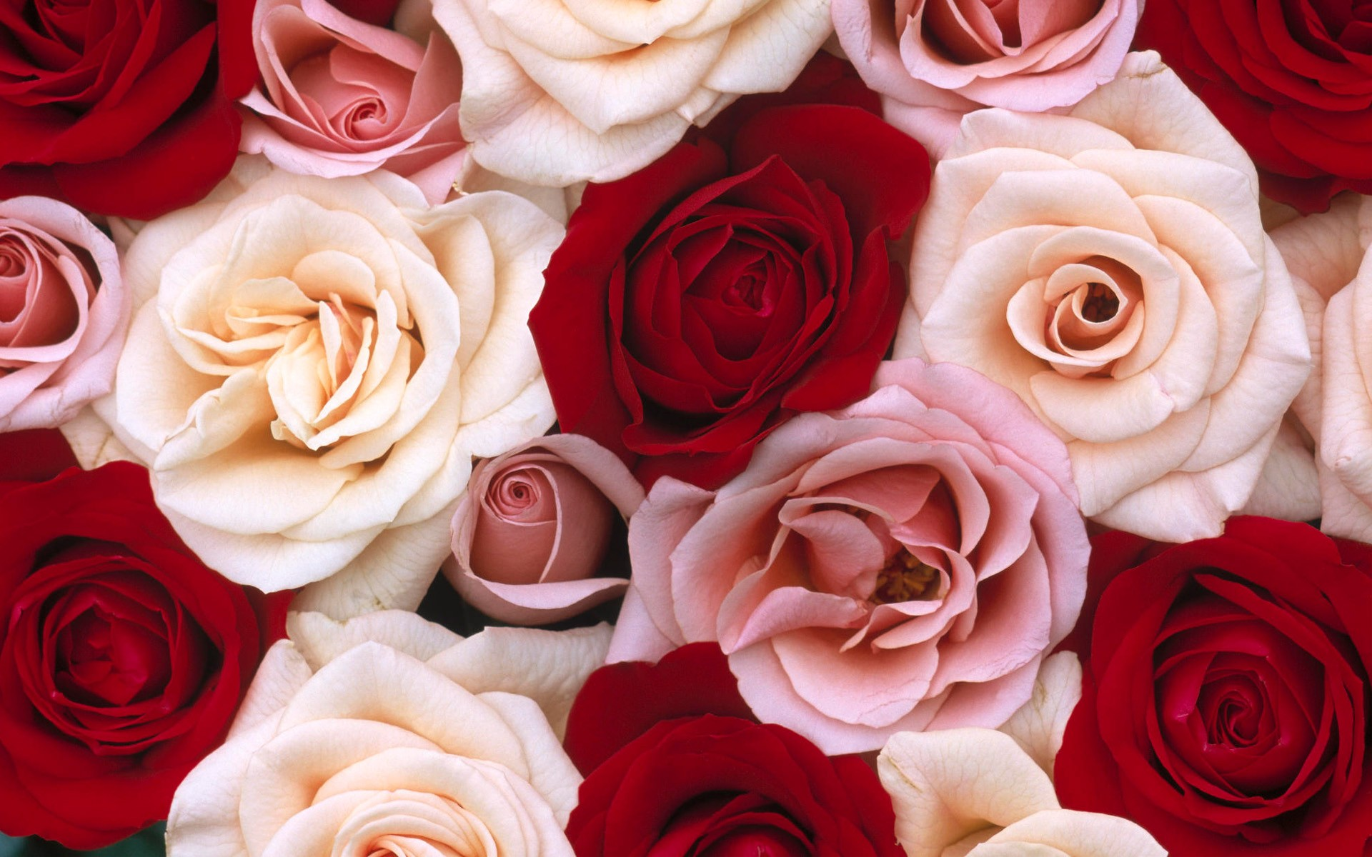 pink rose hd wallpaper for mobile