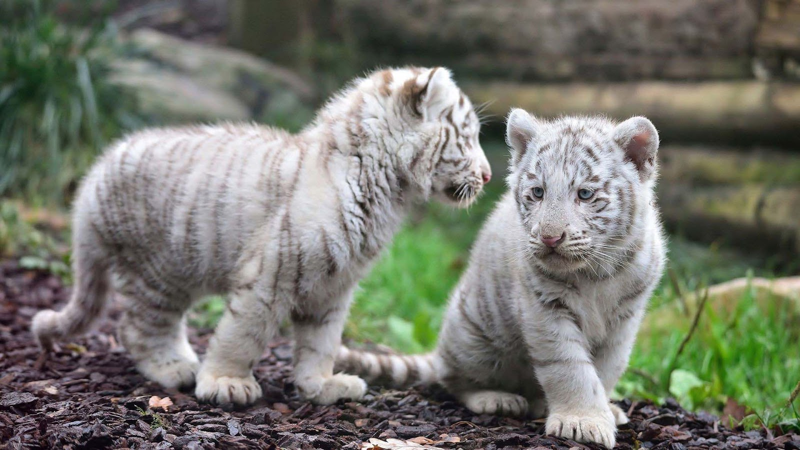 White Tiger Background Wallpapers WIN10 THEMES 1600x900